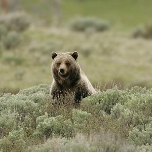 Bear in Yellow Stone Park