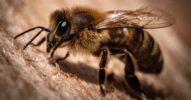 Coronatest mal anders: Bienen übernehmen die Arztrolle [Netzfund]